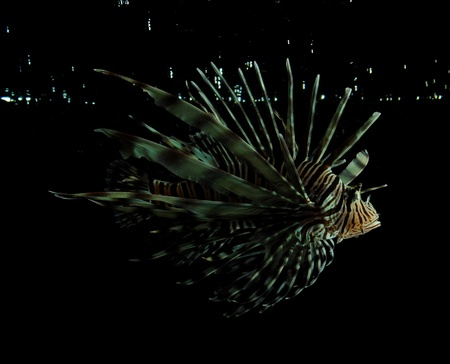lionfish on black with water splashing in background