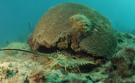 Caribbean spiny lobster coming out from under brain coral in natural habitat photo