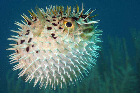 Blowfish or diodon holocanthus underwater in ocean in tropical destination Zdjęcie Seryjne - 19012253