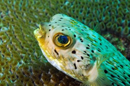 close up of blowfish underwater in ocean agains coral photo