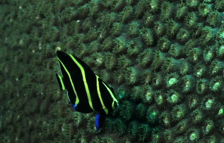 Juvenile French angelfish or Pomacanthus paru underwater in ocean photo