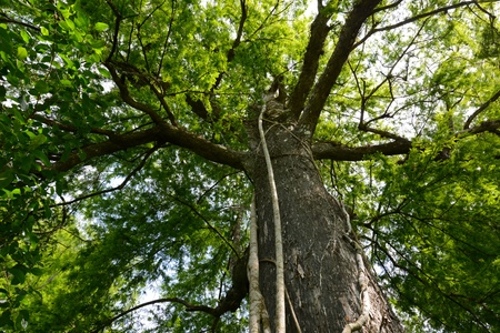 strangler: Looking up at giant cypress tree with strangler fig in lush green forest