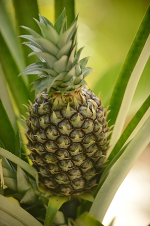 A fresh organic pineapple plant growing in nature Imagens