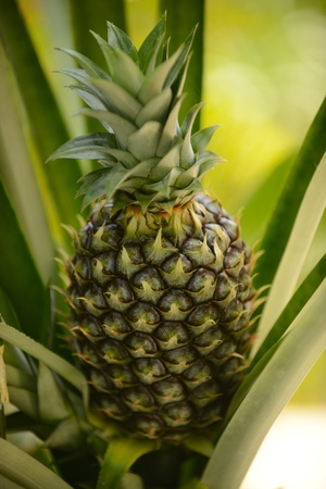 A whole pineapple plant in a garden Imagens