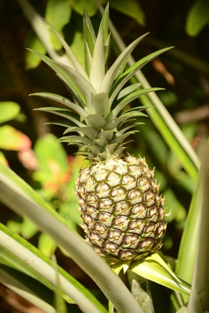 Fresh tropical fruit or pineapple plant growing in an exotic destination Imagens