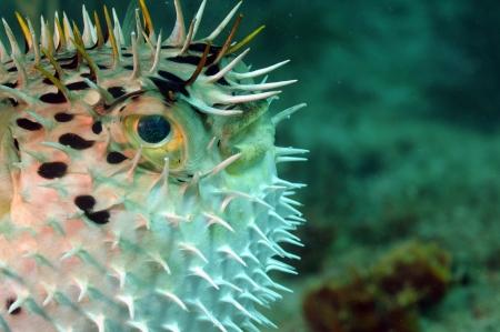 close up image of a puffed up blowfish photo