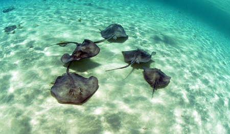 stingrays: A group of stingrays swimming in the ocean in the Bahamas