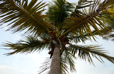 Looking up at a coconut palm tree in a tropical location