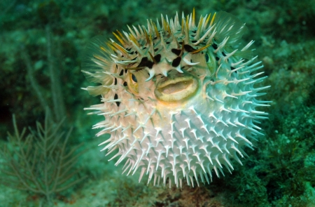 puffed: Puffed up blowfish swimming in the ocean Stock Photo