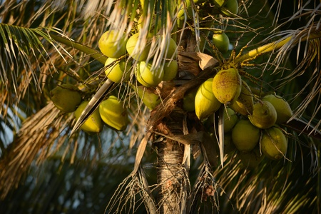 A group of coconuts growing on a palm tree in a tropical location