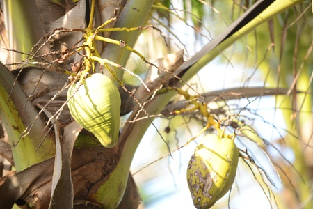 coconuts growing in a palm tree in a tropical location