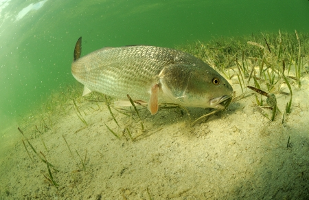redfish fish swimming in ocean off of the florida coast