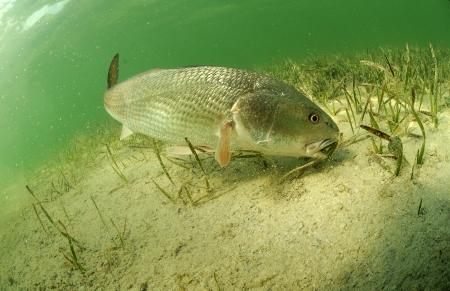 roodbaars vissen zwemmen in de oceaan af van de kust van Florida