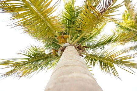 Looking up at a tall coconut palm tree in tropical location Imagens