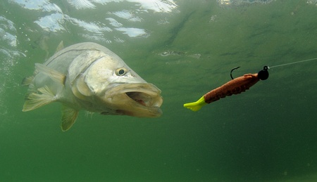 ocean fishing: snook fish going after lure during fishing trip Stock Photo