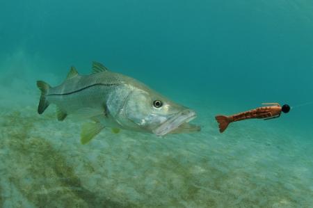 Snook vissen zwemmen na lokken in de oceaan