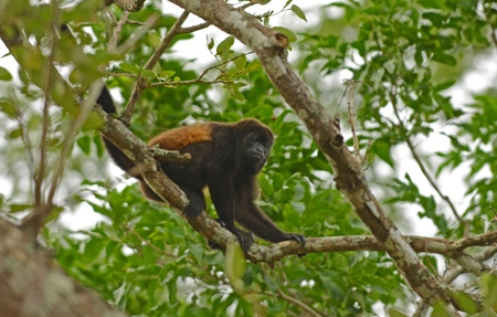 natural  habitat: spider monkey in tree in its natural habitat Stock Photo