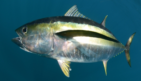yellowfin tuna fish underwater in pacific ocean