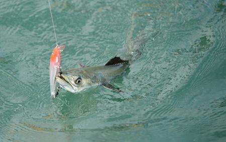 Spanish mackerel fish caught on hook and fishing line in ocean