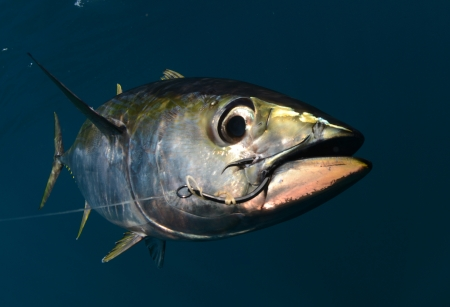 a yellowfin tuna fish with a hook in its mouth from fishing 스톡 콘텐츠