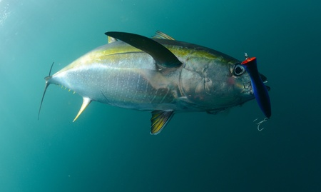 yellowfin tuna fish in ocean with blue lure in its mouth 写真素材