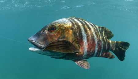 barred: barred pargo fish in water with hook in its mouth after its been caught Stock Photo