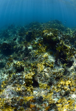 pristine corals: Tropical fish underwater in the ocean on a coral reef in a warm climate