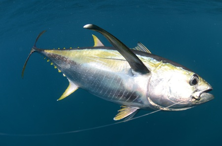 hooked yellow fin tuna fish underwater in ocean Stock Photo