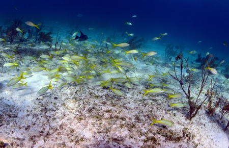 trigger fish: School of fish that includes trigger fish and yellowtail snapper in an underwater seascape