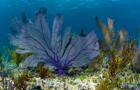 pristine corals: beautiful purple sea fan on a coral reef underwater in the ocean