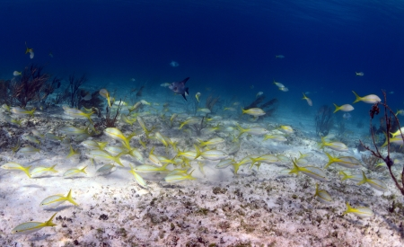 School of tropical fish that includes trigger fish and yellowtail snapper