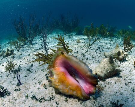 natural  habitat: conch shell underwater in its natural habitat Stock Photo