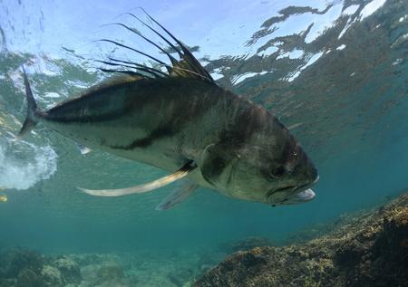 roosterfish in ocean caught on hook and fishing line underwater Foto de archivo