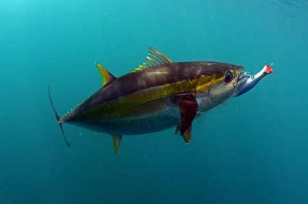 yellowfin tuna fish with a hook and lure in its mouth