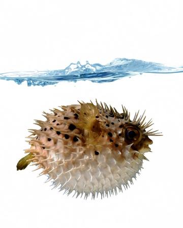 pez globo: pez globo enojado con un chorro de agua sobre un fondo blanco Foto de archivo