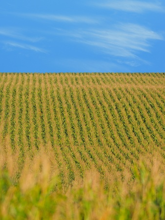 iowa agriculture: Rows of corn stalks in a cornfield on farm and blue sky
