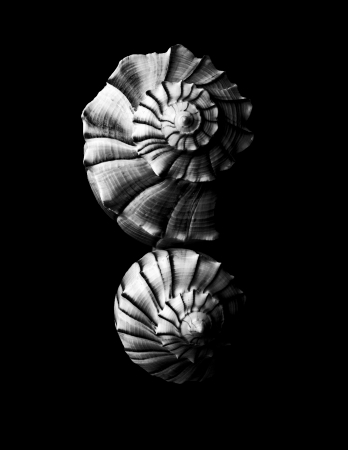 oceanic: black and white seashell background in nature