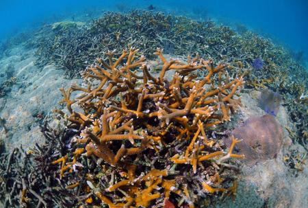 sealife: Hirschhorn Korallen und Sealife auf Riff in tropischen Lage