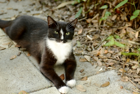 tuxedo cat outdoors in autumn Foto de archivo