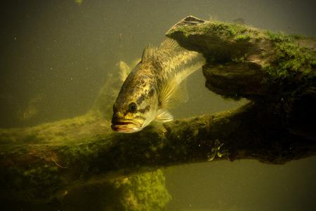 grote mond bas vissen in zoetwatermeer