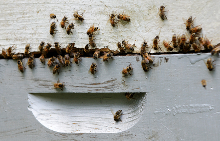 swarm of bees on hive