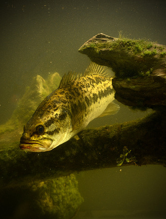 freshwater fish: a large mouth bass fish underwater Stock Photo