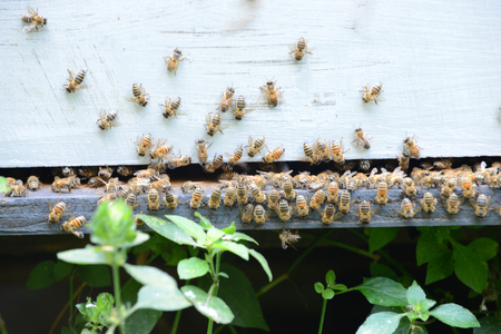 swarm of bees at beehive Stock Photo