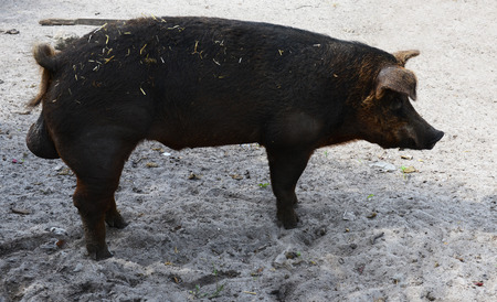 male pig: standing male pig on a farm