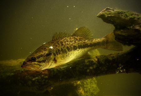 largemouth bass fish underwater in lake photo