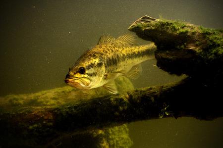 largemouth bass: largemouth bass fish in lake swimming