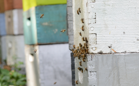 bees flying and into group of beehives or apiary