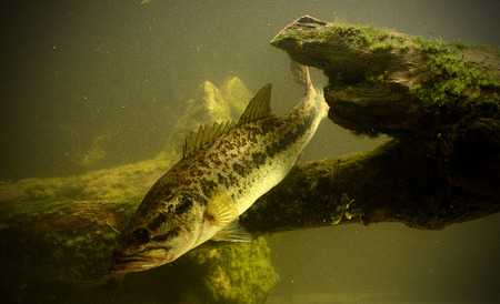 freshwater fish: fishing for largemouth bass fish in fresh water Stock Photo