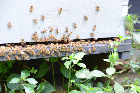 swarm of honey bees on man-made hive Stock Photo