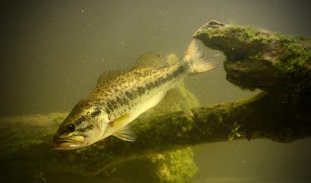 largemouth bass vissen zwemmen